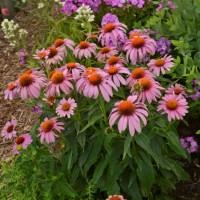 Echinacea ' Prairie Splendor' photo courtesy  of Walters Gardens