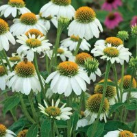 Echinacea purpurea 'Pow Wow White' photo courtesy of Walters Gardens