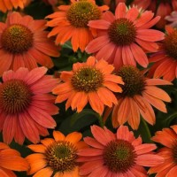 Echinacea Artisan 'Red Ombre' photo courtesy of Growing Colours