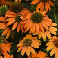 photo of Echinacea 'Soft Orange'