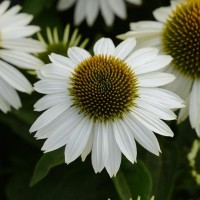 Echinacea 'Sombrero Blanco' photo courtesy of Ball Horticultural