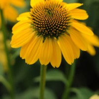 Echinacea 'Sombrero Lemon Yellow' photo courtesy of Ball Horticultural