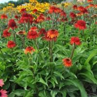 Echinacea 'Sweet Chili' photo courtesy of Plants Nouveau