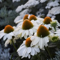 Echinacea 'The Price is White' photo courtesy of Walters Garden