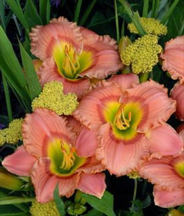 Daylily 'Elegant Candy' Photo courtesy of Walters Gardens
