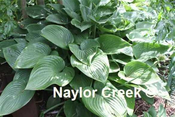 Hosta 'Eliator' photo courtesy of Naylor Creek Nursery