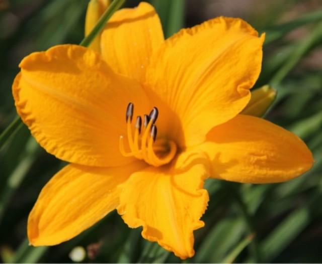 Daylily 'Encore et Encore' Photo Whitehouse Perennials Nursery and Display Gardens