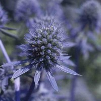 Eryngium planum Blue Glitter