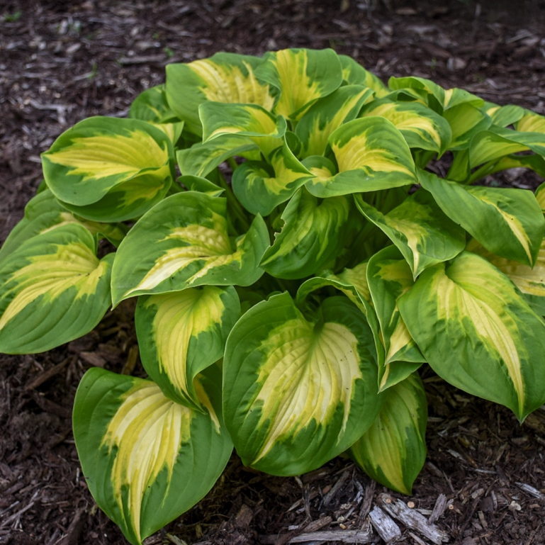 Hosta 'Etched Glass' photo courtesy of Walters Gardens
