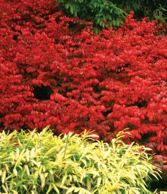 Euonymus alatus 'Fireball' Photo courtesy of Proven Winners