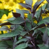 Eupatorium rugosum Chocolate (syn Eutrochium)