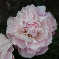 Peony 'Extra Sweet Pink' photo Suzanne Paty
