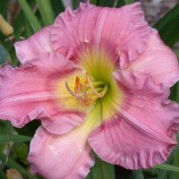 Daylily 'Fair Kelly Michelle' photo Whitehouse Perennials Nursery and Display Gardens