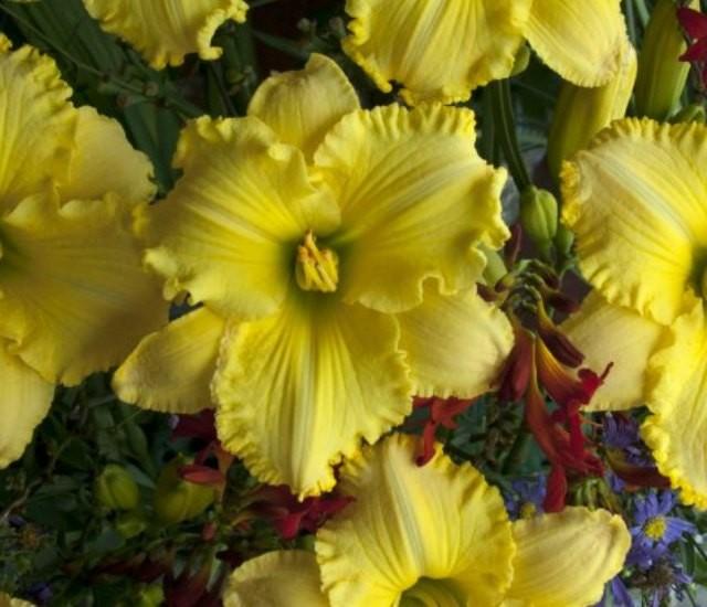Daylily 'Ferengi Gold' Photo courtesy of Walters Gardens