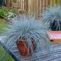 Festuca 'Beyond Blue' photo courtesy of Concept Plants