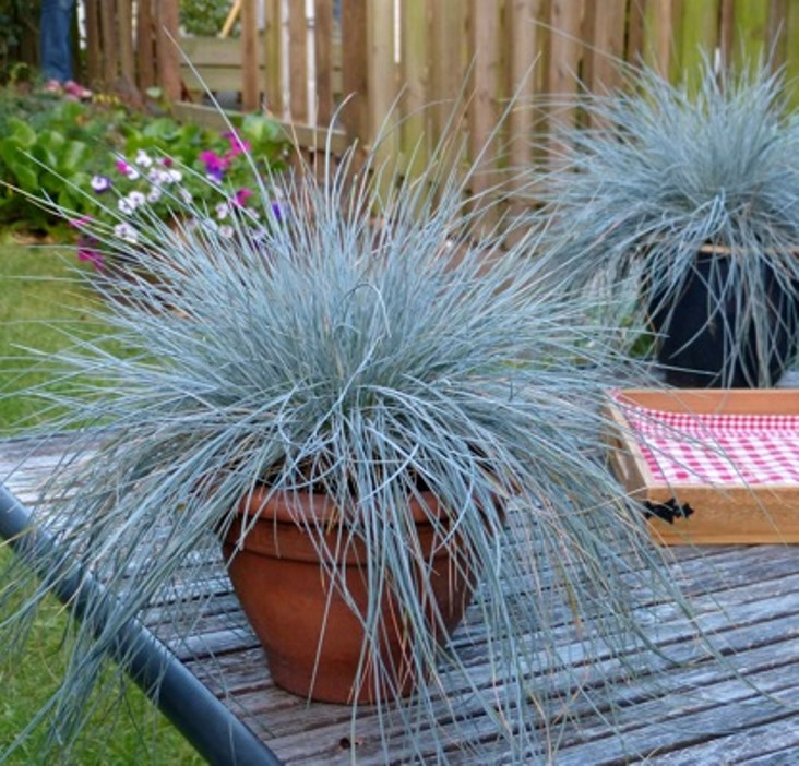 Festuca 'Beyond Blue' photo courtesy of Concept Plants