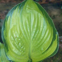 Hosta 'Final Summation' photo courtesy of Green Hill Hostas