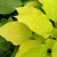 Hosta 'Fire Island' Photo courtesy of Walters Gardens
