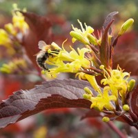 Diervilla splendens 'El Madrigal Firefly Nightglow' photo Bloomin' Easy