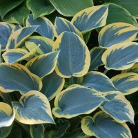 Hosta 'First Frost'  Photo courtesy of  Walters Gardens