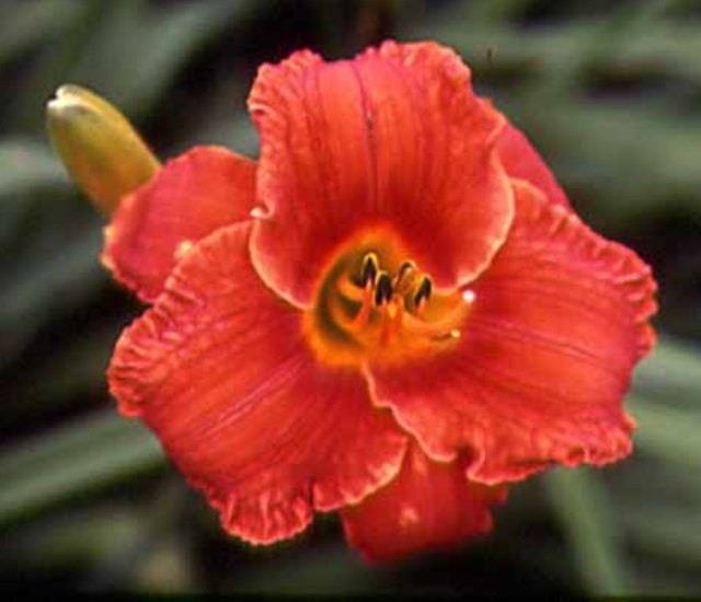 Daylily 'Flaming Wildfire' photo Whitehouse Perennials Nursery and Display Gardens