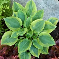 Hosta 'Flash Forward'  Photo courtesy of  Walters Gardens