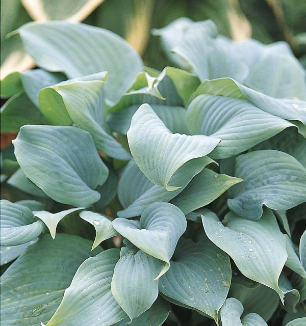 Hosta 'Fragrant Blue' Photo courtesy of Walters Gardens