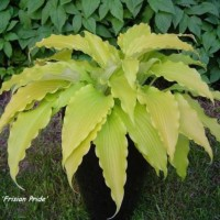 photo of Hosta 'Frisian Pride' courtesy of Naylor Creek Nursery