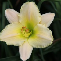 Daylily 'Frost Avenue' photo Whitehouse Perennials Nursery and Display Gardens