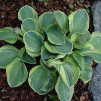 pphoto of Hosta 'Frosted Mouse Ears' courtesy of Naylor Creek Nursery