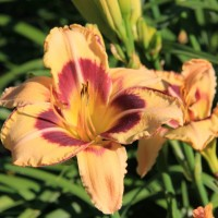 daylily 'Galestorm' photo Whitehouse Perennials Nursery and Display Gardens