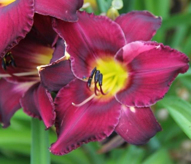 Daylily 'Georgette Belden' photo Whitehouse Perennials Nursery and Display Gardens