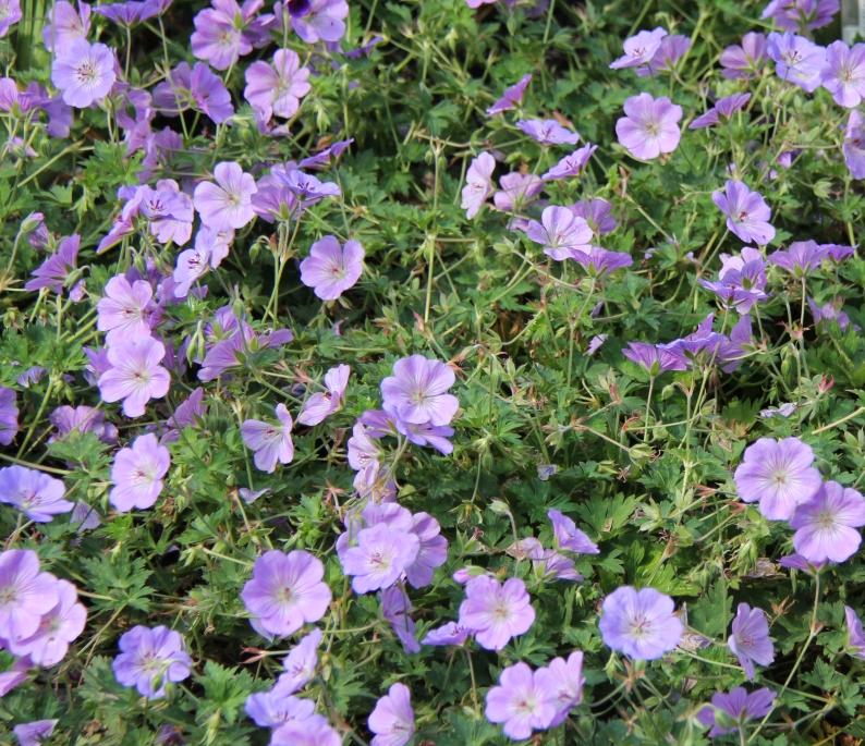 Geranium 'Azure Rush' photo Whitehouse Perennials Nursery and Display Gardens