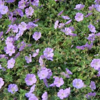 Geranium 'Azure Rush' photo Whitehouse Perennials Nursery and Display Gardens