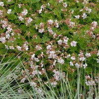 Geranium 'Biokova' courtesy of Walters Gardens