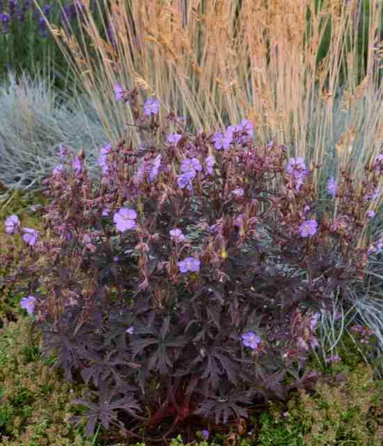 Geranium pratense 'Dark Reiter' photo courtesy of Walters Gardens