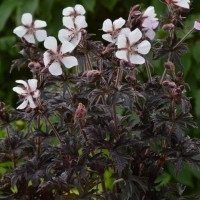 Geranium 'Midnight Ghost' from Growing Colours