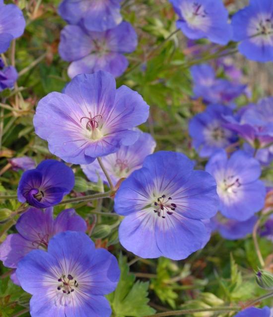 Geranium 'Rozanne' photo courtesy of Walters Gardens