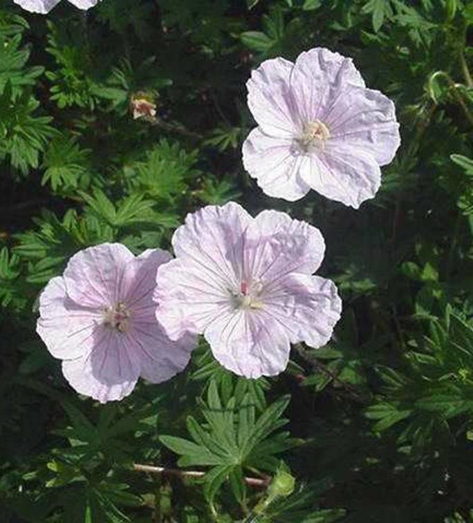 Geranium sanguineum var striatum photo Missouri Botanical Gardens