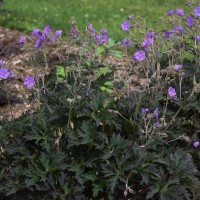 photo of Geranium pratense 'Boom Chocolatta' courtesy of Walters Gardens