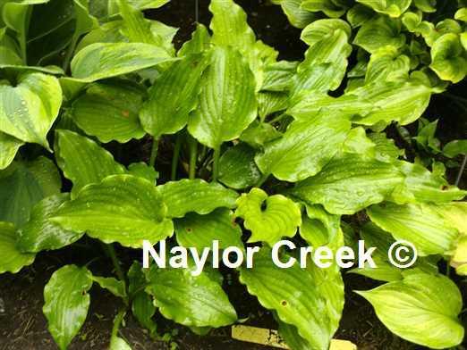 Hosta 'Get Nekkid' photo courtesy of Naylor Creek Nursery