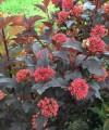 ginger_wine_ninebark_physocarpus_seeds.jpg