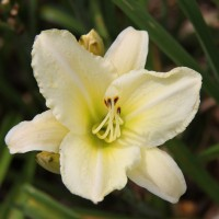 Daylily 'Gloria Blanca' photo Suzanne Patry, Whitehouse Perennials