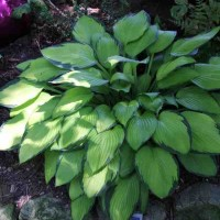 Hosta 'Gold Standard' Photo courtesy of Walters Gardens