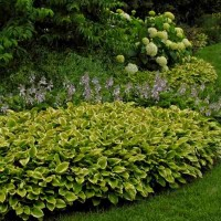 Hosta 'Golden Tiara' Photo courtesy of Walters Gardens
