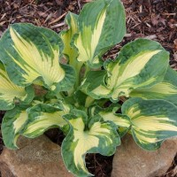 Hosta 'Golden Meadows' photo courtesy of Naylor Creek Nursery