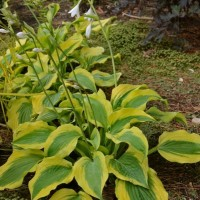 Hosta 'Goodness Gracious' Photo courtesy of Walters Gardens
