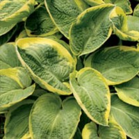 Hosta 'Great Arrival' photo courtesy of Q and Z Nursery