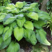Hosta 'Guacamole' Photo courtesy of Walters Gardens