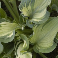 Hosta 'Guardian Angel' Photo courtesy of Walters Gardens